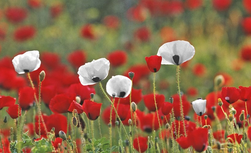 Charity calls on Christians to support white poppy cause